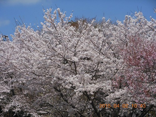 Full bloom in Hiroshima (2)