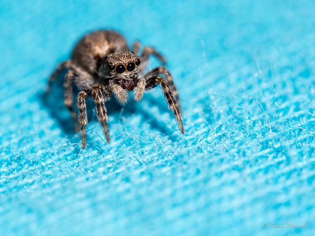 spider, macro, blue