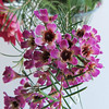 Waxflowers in a bouquet
