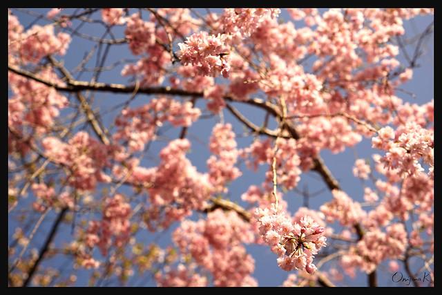 2015.04_日本京都_平安神宮 (桜)