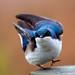 Tree Swallow by Jim Sullivan by jb.sullivan