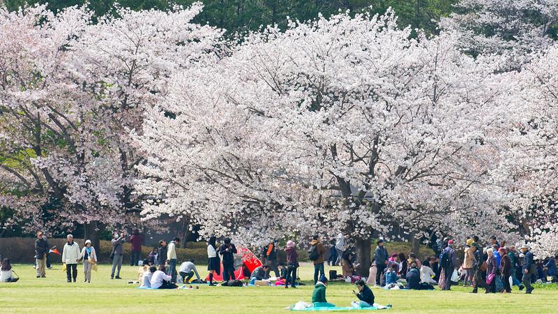 DA*300mm的櫻花