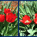 Tulips 18 April 2015 4483-4486 by edgarandron