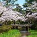 花見橋と染井吉野 - 兼六園 / Kenroku-en Garden in Spring by Active-U