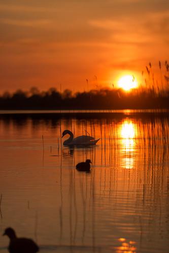 sunset red sun lake rot silhouette germany see duck swan sonnenuntergang ducks enten ente sonne schwan pönitz pönitzer
