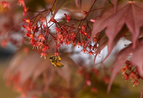 Bees Love Maple Blossoms, Too! by Geoff Livingston