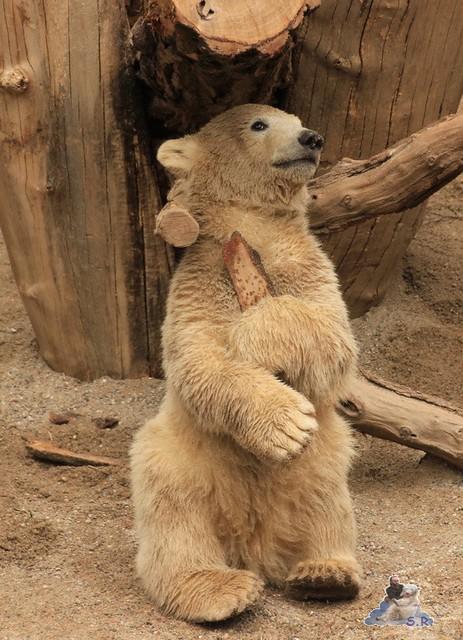 Eisbär Fiete im Zoo Rostock 04.05.2015 134