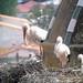 Trujillo Storks