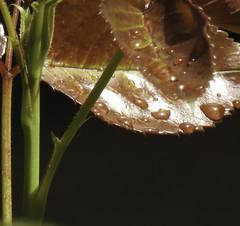 Petal Droplets