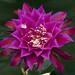 Epiphyllum Oberon by DonCrain