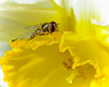 Fly on Daffodil