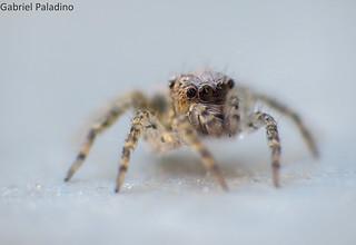 Araña saltarina / Jumping spider