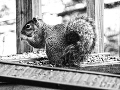 Squirrel Eats BW