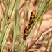Locust control - Madagascar
