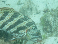 Red-lipped Morwong