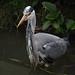 Grey Heron by Megashorts