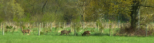 Sika Deer at Berry Hill Treatment works