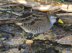Sora/ Spring Valley Wildlife Refuge/ 4-10-2015
