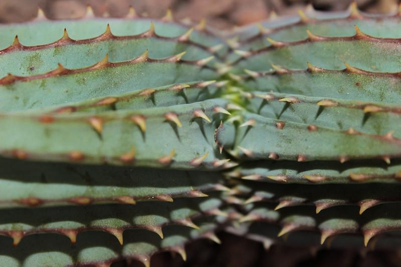 Aloe suprafoliata 17240920302_be7f9733b8_c