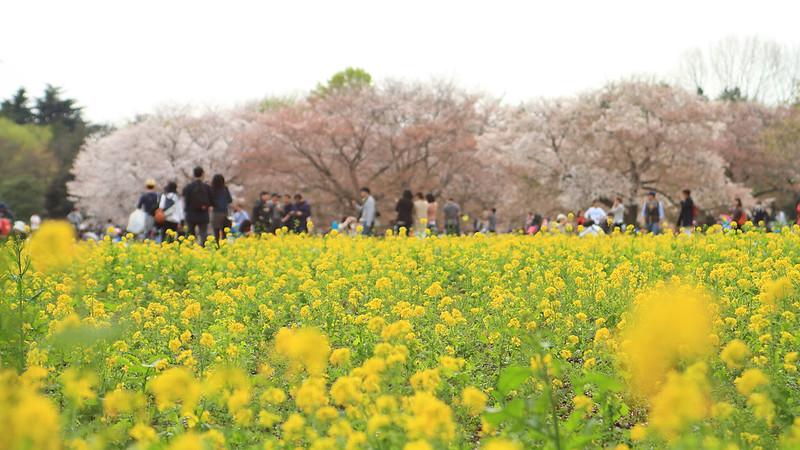 IMG_1051 国営昭和記念公園 花畑