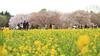 Photo:IMG_1051 国営昭和記念公園 花畑 By vicjuan