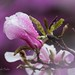 Magnolia by laszlofromhalifax