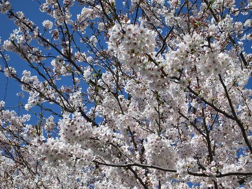 2_畑沢川の桜_2