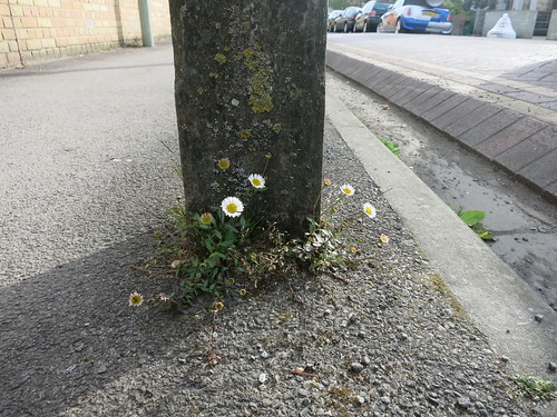 Erigeron, self-palnted