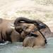 San Diego Zoo Safari Park: African Elephants