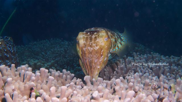 産卵中のコブシメ