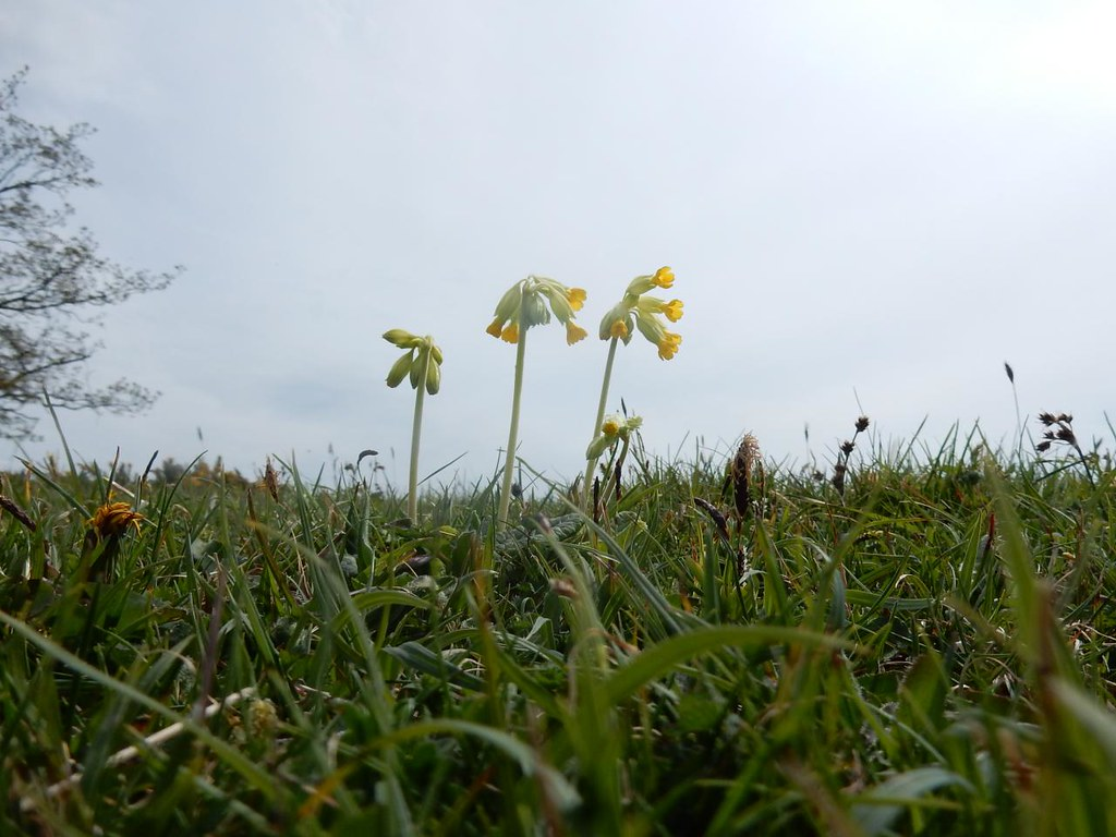 Cowslips Hassocks to Lewes