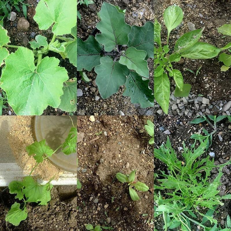 summer #vegi in #ub1jp #ub1fb アースキッチンに夏野菜植えました。
