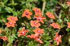 HolderScarlet Pimpernel flower