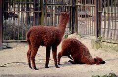 arabian camel(0.0), alpaca(1.0), animal(1.0), zoo(1.0), llama(1.0), fauna(1.0), camel-like mammal(1.0),
