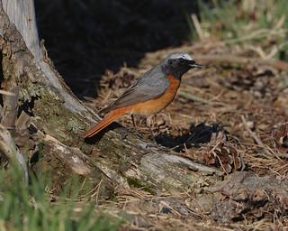 Stunning Male Redstart — looking his best