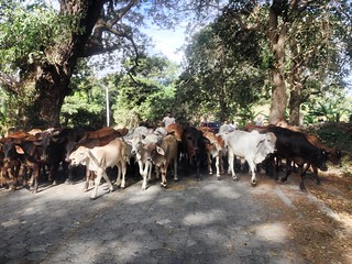 Traffic jam, Omotepe Nicaragua