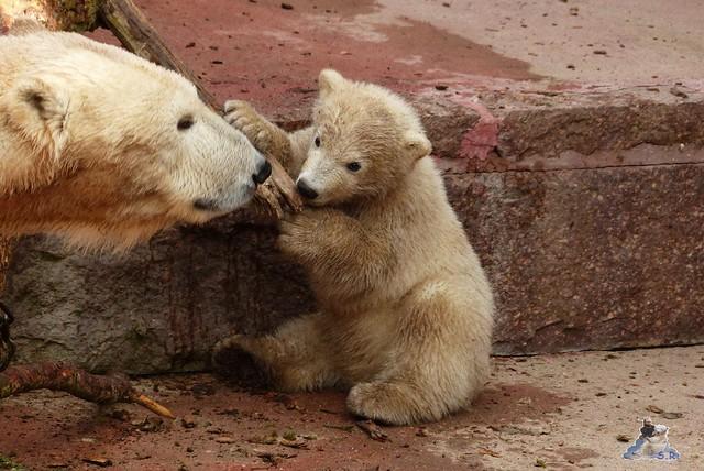 Eisbär Fiete Zoo Rostock 11.04.2015 Teil 1 162