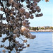 Washington Monument and Cherry flowers by die Augen