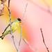 Lesser Goldfinch / Spinus psaltria by peter.lindenburg