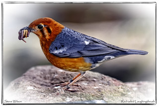 Feeding Red tailed Laughingthrush