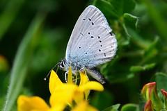 HolderSmall blue on birdsfoot. (3)