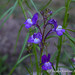 Small photo of Linaria