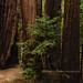 Coastal Redwood Grove, Big Sur, California by chasingthelight10