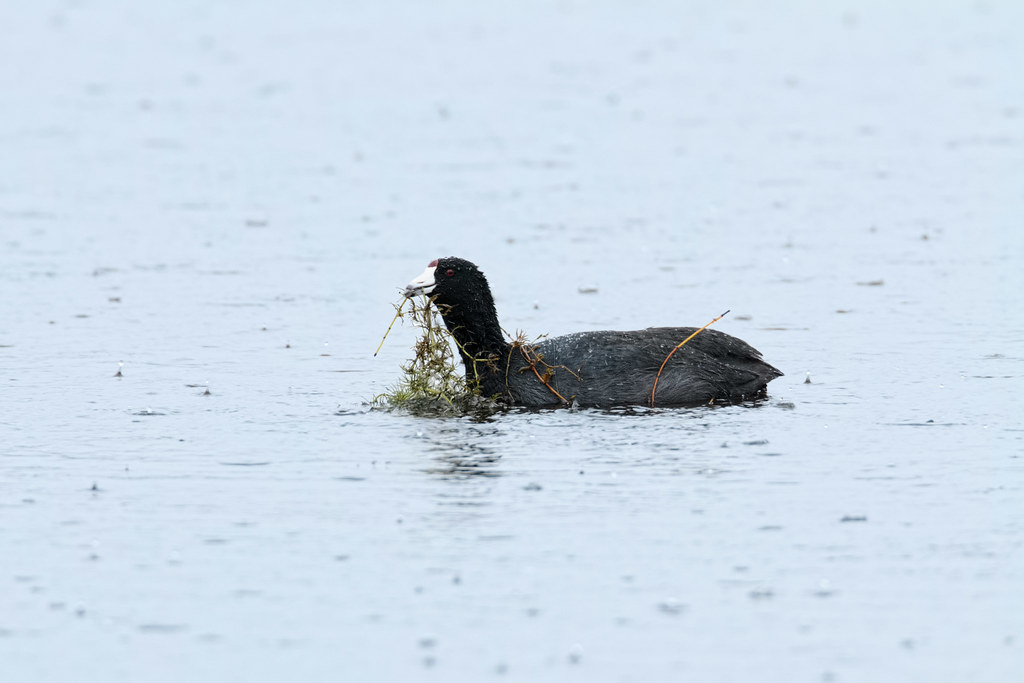An American coot surfaces with plants as rain pounds the surface of the water
