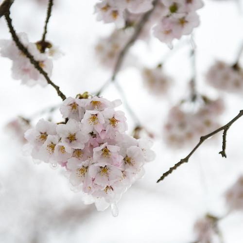 Sakura to freezing