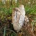 Champignon - Coprin chevelu IMG_3537 1