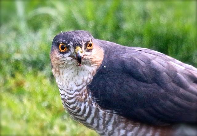 Sparrowhawk IMG_2344