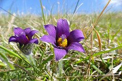 Pasque Flowers (Pulsatilla vulgaris) - Photo of Rouvres