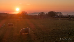 Sunsetting on ... Easter Monday, sheep and sea mist