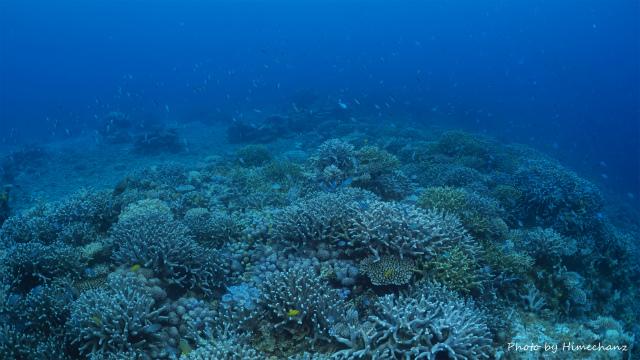ここのサンゴは圧巻の密集さ!